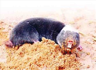 रेगिस्तानी मोल चूहा बूढ़ा नहीं होता