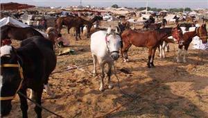 राजस्थान पुष्कर में पशु मेले में घोड़ों पर लगी रोक हटाने की मांग