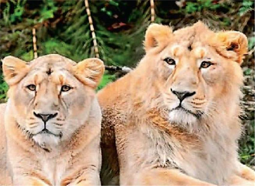 गिर में चार माह की बंदी के बाद आज से फिर होंगे सिंह दर्शन