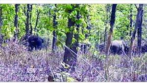 कटघोरा नपा के वार्ड 8 की सीमा से खदेड़े गए हाथी