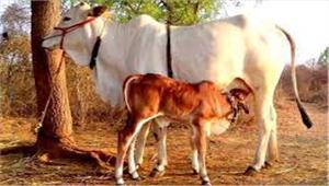 अब गायों का भी बनेगा आधार