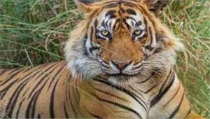 उप्र में बाघ ने ली 5 की जान आदमखोर घोषित