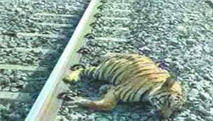 रेल दुर्घटना में बाघिन की मौत