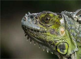 फिजी के उत्तरी द्वीप पर इगुआना के मिलने से वनस्पतियों को खतरा