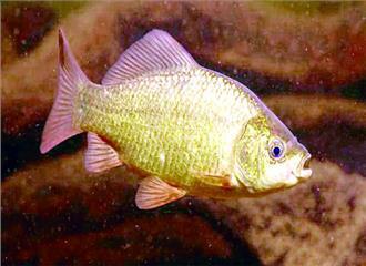अल्कोहल के सहारे जिंदा रहने वाली मछलियां