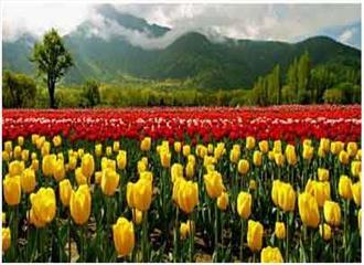 श्रीनगर में एशिया का सबसे बड़ा ट्युलिप गार्डेन एक अप्रैल से खुलेगा
