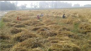 किसानों ने विधायक के सामने जलाई फसल की होली