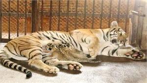 चार बाघ शावको का हुआजन्म