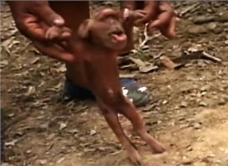 क्यूबा: बंदर की तरह दिखने वाला सूअर का बच्चा