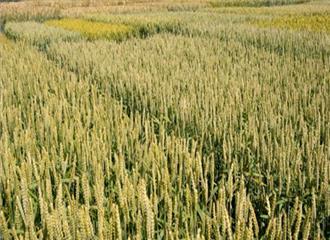 प्रतिदिन नष्ट हो रहीं 50 से अधिक कृषि प्रजातियाँ
