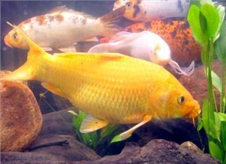 सजावटी मछली पालन में रोजगार के अवसर
