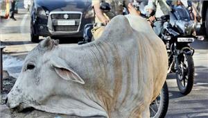 जयपुर आवारा पशुओं को पकड़ने का चलाया जाएगा अभियान