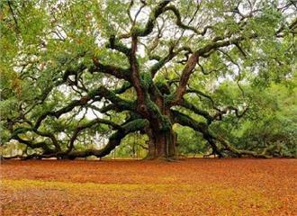 देवभूमि का पर्यावरणीय तत्व है कल्पवृक्ष