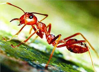 अपने घायल साथियों की देखभाल करती हैं चींटियां
