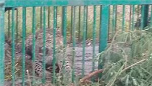 बड़वानीलकड़बग्घे के लिए लगाये पिंजरे में मादा तेंदुआ हुई कैद