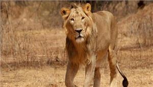 बूचड़खाने बंद होने के कारणसफारी पार्क के शेरों पर संकट