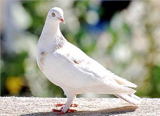 संदेशवाहक पक्षी कबूतर
