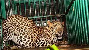 लगातार हो रही है तेंदुओं की मौत मार्च में आए 21 मामले