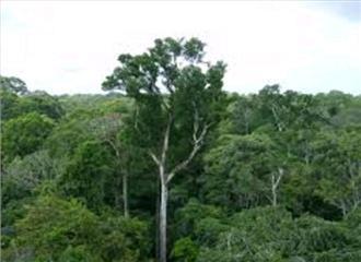 बारिश कराते हैं अमेजन के पेड़