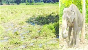 हाथी ने ग्रामीण को कुचला मौत