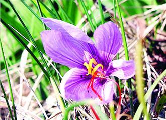 केसर-एक अनमोल वनस्पति