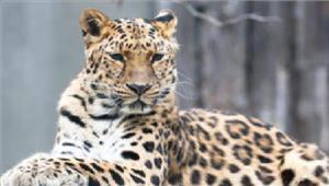 सतनाबस्ती में घुसे तेंदुए को वन विभाग ने पकड़ा