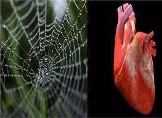 मकड़ी के रेशम से कृत्रिम दिल का निर्माण