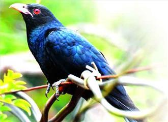 दूसरों के घोंसलों में अंडे देने वाले पक्षी