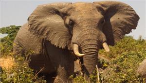 उत्तराखंड  हाथी ने महिला कोकुचलकर मौत के घाट उतारा