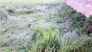 खड़ी फसल गिर जाने से किसानों को नुकसान