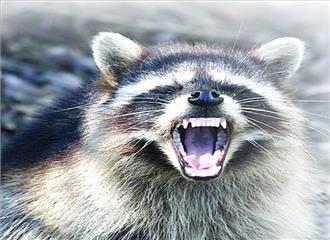विचित्र स्तनधारी प्राणी है रैकून