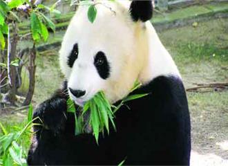 इतना बांस क्यों खाता है पांडा