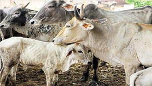 गौतस्करों सेमुठभेड़ कर200 गाय मुक्त कराई 8तस्कर गिरफ्तार