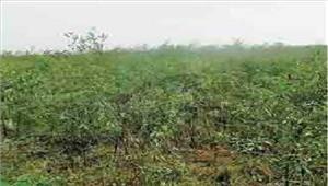 श्योपुरबारिश के चलते किसानों की चिंता बढ़ी