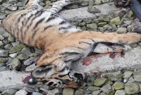 सतना ट्रेन की टक्कर से बाघ की मौत